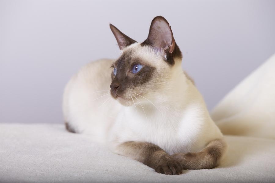 Blue Cream Point Cat
